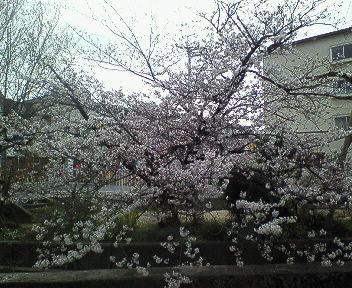 桜@武庫之荘.jpg