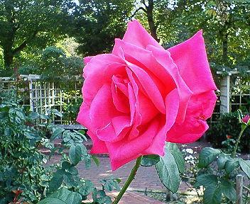 大井戸公園赤いバラ.jpg