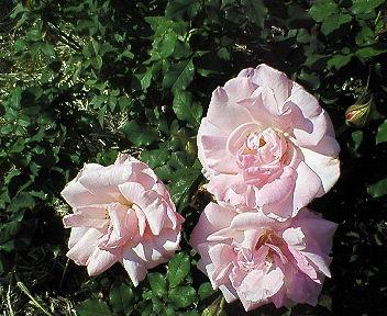 大井戸公園白いバラ.jpg